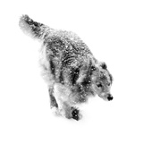 Portrait of a Dog Running Through a Snow Storm