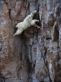 A Mountain Goat Descends a Sheer Rock Wall to Lick Exposed Salt