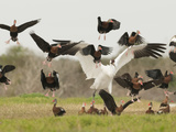 A Whooping Crane Scatters Black-Bellied Whistling-Ducks