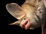 A Pallid Bat at the North Carolina Zoo