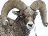 A Bighorn Sheep  Ovis Canadensis  Forages on the Winter Landscape