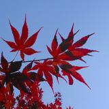 Japanese Maple Leaves  Acer Palmatum  Against a Blue Sky
