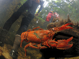 A Crayfish Dodges a Hiker Fording a Stream in Claustral Canyon