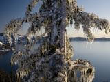 Ice Covered Tree  Creater Lake National Park  Oregon  United States of America  North America
