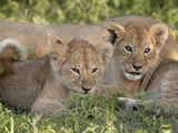Two Young Lion (Panthera Leo) Cubs  Serengeti National Park  Tanzania  East Africa  Africa