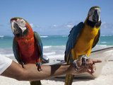 Two Parrots  Bavaro Beach  Punta Cana  Dominican Republic  West Indies  Caribbean  Central America