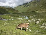 Swiss Cows in Alpine Meadow  Canton Graubunden  Switzerland  Europe