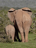 African Elephant (Loxodonta Africana) Mother and Calf  Addo Elephant National Park  South Africa  A