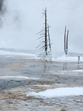 Stark Trees in Biscuit Basin Winter Landscape  Yellowstone National Park  UNESCO World Heritage Sit