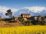 Mustard Fields with the Annapurna Range of the Himalayas in the Background  Gandaki  Nepal  Asia