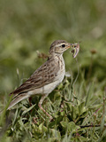 African Pipit (Grassland Pipit) (Grassveld Pipit) (Anthus Cinnamomeus) with a Grasshopper  Ngorongo