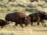 Bison (Bison Bison) Running  Yellowstone National Park  UNESCO World Heritage Site  Wyoming  United