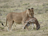 Lioness (Panthera Leo) Carrying a Baby Blue Wildebeest (Brindled Gnu) (Connochaetes Taurinus) Kill