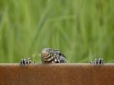 Water Monitor (Varanus Niloticus) Peeking over a Bridge  Kruger National Park  South Africa  Africa