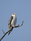 Black-Shouldered Kite (Elanus Caeruleus)  Kgalagadi Transfrontier Park  Encompassing the Former Kal