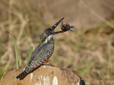 Giant Kingfisher (Megaceryle Maxima) with a Fish  Kruger National Park  South Africa  Africa