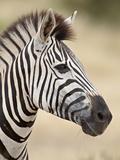 Chapman's Zebra (Plains Zebra) (Equus Burchelli Antiquorum)  Kruger National Park  South Africa  Af