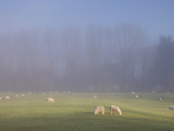 Misty Trees  and Sheep  Exe Valley  Devon  England  United Kingdom  Europe