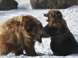 Two Brown Bears (Ursus Arctos) Sparring in Winter Snow  Bozeman  Montana  United States of America