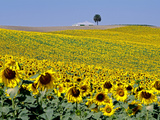 Sunflower Field Near Cordoba  Andalusia  Spain  Europe