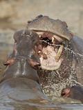 Two Hippopotamus (Hippopotamus Amphibius) Sparring  Serengeti National Park  Tanzania  East Africa