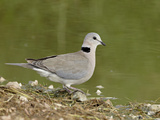 Ring-Necked Dove (Cape Turtle Dove) (Half-Collared Dove)  (Streptopelia Capicola)  Serengeti Nation