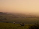 Sheep at Sunset  Near Sidmouth  Devon  England  United Kingdom  Europe