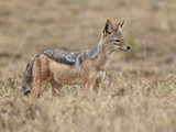 Black-Backed Jackal (Silver-Backed Jackal) (Canis Mesomelas)  Serengeti National Park  Tanzania  Ea