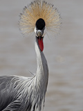 Grey Crowned Crane (Southern Crowned Crane) (Balearica Regulorum)  Serengeti National Park  Tanzani