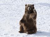 Waving Brown Bear (Ursus Arctos) Sitting in Winter Snow  Bozeman  Montana  United States of America