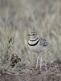 Two-Banded Courser (Double-Banded Courser) (Rhinoptilus Africanus)  Serengeti National Park  Tanzan