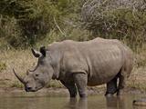 White Rhinoceros (Ceratotherium Simum)  Kruger National Park  South Africa  Africa