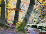 Autumn Trees by the Strid in Strid Wood  Bolton Abbey  Yorkshire  England  United Kingdom  Europe