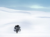 Lone Tree in Hayden Valley  Winter Landscape  Yellowstone National Park  UNESCO World Heritage Site