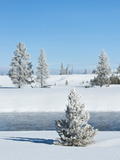Hoar Frost Snow-Covered Tree in Yellowstone National Park  Montana  United States of America  North