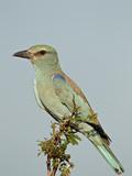 European Roller (Coracias Garrulus)  Kruger National Park  South Africa  Africa