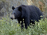 Black Bear (Ursus Americanus) Eating  Glacier National Park  Montana  United States of America  Nor