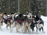 Dog Sledding Team During Snowfall  Continental Divide  Near Dubois  Wyoming  United States of Ameri
