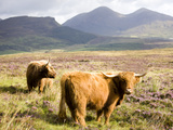 Pair of Highland Cows Grazing Among Heather Near Drinan  on Road to Elgol  Isle of Skye  Highlands