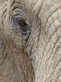 African Elephant (Loxodonta Africana) Eye  Imfolozi Game Reserve  South Africa  Africa