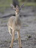 Female Kirk's Dik Dik (Kirk's Dikdik) (Madoqua Kirkii)  Serengeti National Park  Tanzania  East Afr