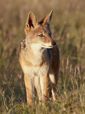 Black-Backed Jackal (Silver-Backed Jackal) (Canis Mesomelas)  Mountain Zebra National Park  South A