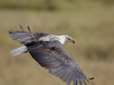 African Fish Eagle (Haliaeetus Vocifer) in Flight  Serengeti National Park  Tanzania  East Africa