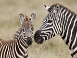 Common Zebra or Burchell's Zebra (Equus Burchelli) Foal and Mare  Serengeti National Park  Tanzania