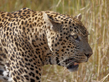Male Leopard (Panthera Pardus)  Kruger National Park  South Africa  Africa
