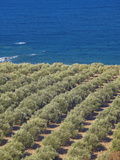 Olive Groves  Chania  Crete  Greek Islands  Greece  Europe