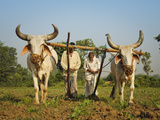 Farmers Ploughing Tobacco (Nicotiana) Fields with Traditional Plough and Cattle (Ankole-Watus)  Guj