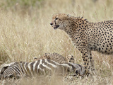 Two Cheetah (Acinonyx Jubatus) at a Zebra Kill  Kruger National Park  South Africa  Africa