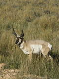 Prong-Horned Antelope (Antilocapra Americana)  Bryce Canyon National Park  Utah  United States of A