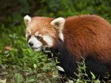 Red Panda (Ailurus Fulgens)  Panda Breeding and Research Centre  Chengdu  Sichuan Province  China